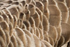 Canada Goose feather Royalty Free Stock Photo