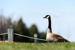 Canada Goose  on fields Royalty Free Stock Image