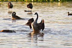 A Canada goose finishes cleaning its feathers and splashes in the water. Water droplets can be seen. stock images