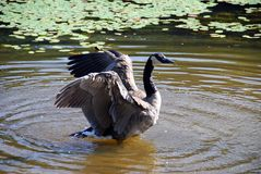 Canada Goose Flapping. A Canada goose flaps its wings while standing in the shallows of a pond Stock Image
