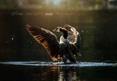 Free Canada Goose Flapping Its Wings In Small Lake Stock Image - 137055631