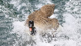 Canada Goose flapping in water. A canada goose flapping splashing in water beak open wide royalty free stock photo