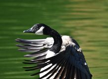 Canada Goose flapping its wings stock image