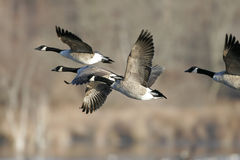 Canada Goose in Flight Stock Photo