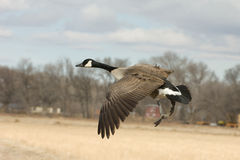 Canada Goose in Flight. A Canada Goose in flight preparing to land in a farm field central New Mexico stock photography