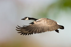 Canada Goose In Flight. A Canada Goose captured in flight Royalty Free Stock Image