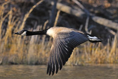 Canada Goose Flight Royalty Free Stock Images