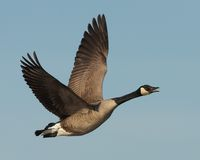 Canada Goose in flight. Canada Goose seen flying above the Forsythe National Wildlife Refuge Stock Images