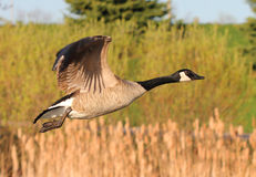 Canada Goose in flight Stock Photos