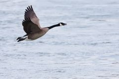 Canada goose in flight. Canada goose flying over water Royalty Free Stock Photography