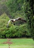 Canada Goose in Flight Closeup Royalty Free Stock Images