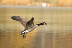 Canada Goose In Flight Stock Image