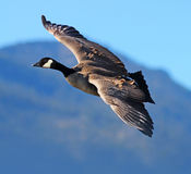 Canada Goose in Flight. A Canada Goose soaring with his wings spread stock image