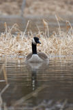 Canada Goose floating on the creek Stock Photography