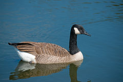 Canada Goose. Floating In Lake Stock Photos