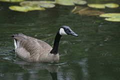 Canada Goose floating near water lilies. Royalty Free Stock Images