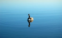 Canada Goose Floating Peacefully Stock Image
