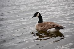 Canada Goose floating on water, Branta canadensis,. A Canadan Goose floating on the water, Canada Goose, Branta canadensis, at Granite Springs Reservoir, Curt royalty free stock images