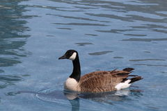 Canada goose. Floating on water lake Stock Images