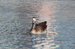Canada goose. Floating on water lake Royalty Free Stock Images