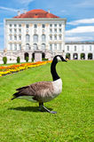 Goose in front of Nymphenburg Castle in Munich Stock Image