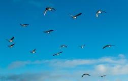 Canada Goose Fly Over Stock Photos