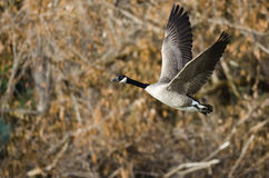 Canada Goose Flying Across the Autumn Woods Royalty Free Stock Photo