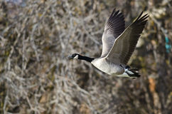 Canada Goose Flying Across the Autumn Woods Stock Image