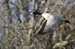 Canada Goose Flying Across the Autumn Woods Royalty Free Stock Photography