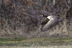 Canada Goose Flying Across the Autumn Woods Stock Photography
