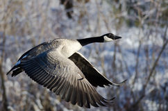 Canada Goose Flying Across the Snowy Winter Terrain Stock Images