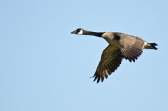Canada Goose Flying in a Blue Sky Stock Photo
