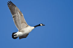 Canada Goose Flying in a Blue Sky Royalty Free Stock Photos