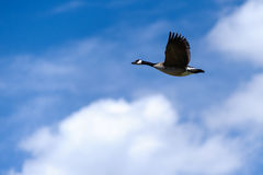 Canada Goose  flying in blue sky Stock Image