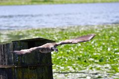 A Canada goose is flying down towards the lake. stock photos