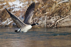 Canada Goose Flying Low Over the River Stock Photography
