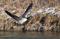 Canada Goose Flying Low Over the River Royalty Free Stock Photography