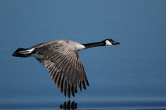 Canada Goose. A Canada Goose flying low over the water Royalty Free Stock Photos