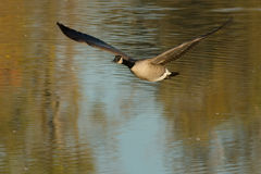 Canada Goose. Flying low over the water Stock Photography