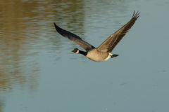 Canada Goose. Flying low over the water Royalty Free Stock Photos