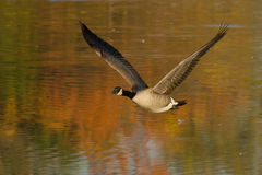 Canada Goose. Flying low over the water Stock Image