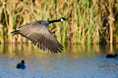 Canada Goose Flying Low Over the Water Stock Photo