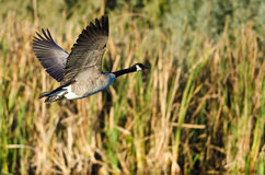 Canada Goose Flying Low Over the Water Stock Photos