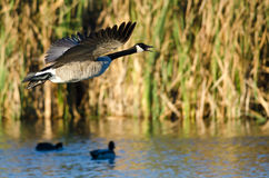 Canada Goose Flying Low Over the Water Royalty Free Stock Photos