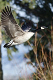Canada Goose Flying Low Over the Wetlands Stock Images