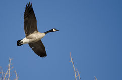 Canada Goose Flying Low Over the Winter Trees Royalty Free Stock Image