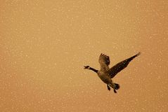 Canada goose flying in snow stock photography