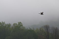 Canada Goose Flying Over the Fog Royalty Free Stock Photos