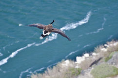 Canada Goose Flying Over River Seen From Above Royalty Free Stock Images