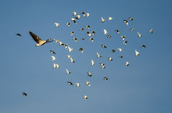 Canada Goose Flying Past a Flock of Rock Pigeons in a Blue Sky Stock Images